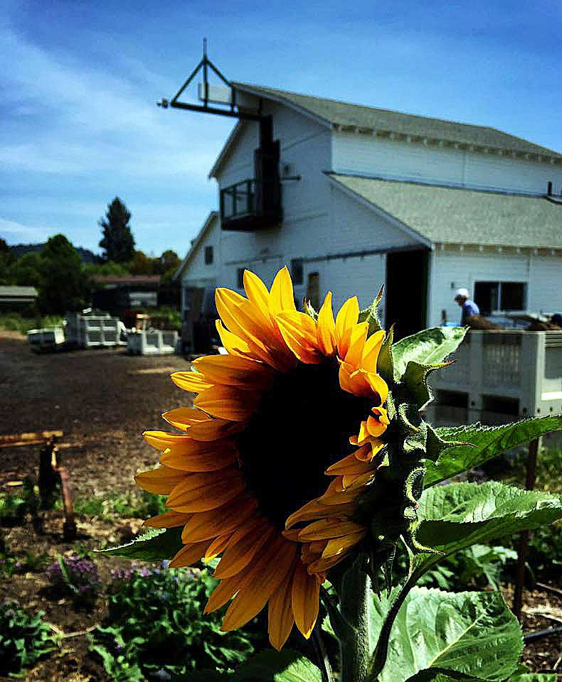 sunflower and barn