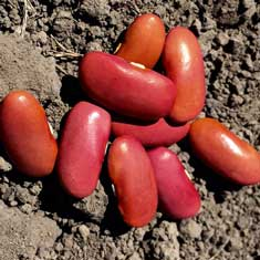 Louisana Red dried beans
